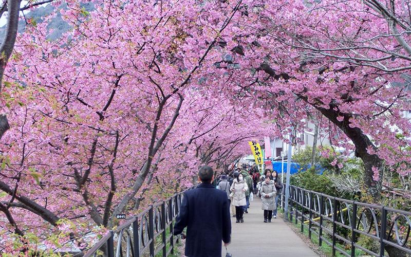 Ketika Masyarakat Jepang Merayakan Mekarnya Bunga Sakura di Festival Kawazu-Zakura